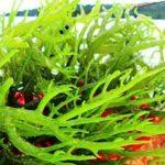 Pembuatan Rumput Laut Kering
